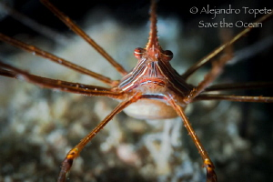 Arrow Crab close Up by Alejandro Topete