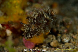 OMG...Hairy Nudibranch Well-Camouflaged, amazing! by Francis Lau