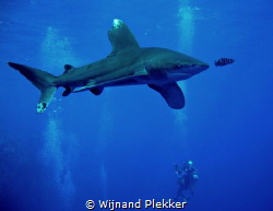 Oceanic whitetip cruising at Elphinstone Reef by Wijnand Plekker