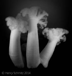 Took this shot in Monterey, CA of a few Metriduims. Visib... by Henry Schmitz