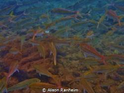 Fish Wall by Alison Ranheim