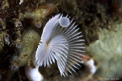 This white fan worm (common name) is an annelid of the cl... by Thomas Heran