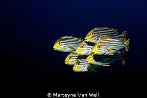 Swimming in formation. Oriental Sweetlips posing for the ... by Marteyne Van Well