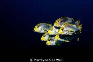 Swimming in formation. Oriental Sweetlips posing for the ... by Marteyne Van Well