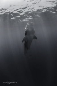 Fade to Black - Whale Shark hangs vertically as it feeds.  by Ken Kiefer