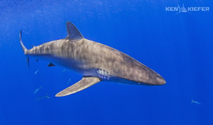 Silky Shark in the sun. by Ken Kiefer