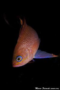 Portrait of Anthias anthias by Marco Faimali (ismar-Cnr)