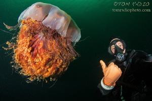 Self portrait with a massive lion's mane jellyfish. Seat... by Tom Radio