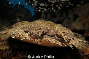 The Master of camouflage - frontal shot of a wobbegong by Andre Philip
