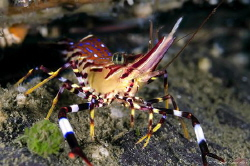 The painted shrimp (Campylonotus vagans) is one of the mo... by Thomas Heran