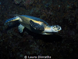 Female Hawksbill turtle along a reef wall by Laura Dinraths