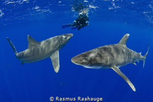 Oceanic sharks investigate diver near the surface - CAT I... by Rasmus Raahauge