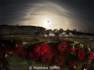 Crimson red Waratah Anemones at low tide in a rock pool d... by Matthew Smith