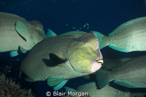 A school of bump head parrotfish..... Flynn Reef, Great B... by Blair Morgan