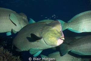 A school of bump head parrotfish..... Flynn Reef, Great B... by Blair Morgan