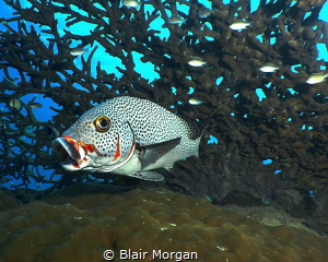 A Sweetlip swimming out from the coral.... by Blair Morgan