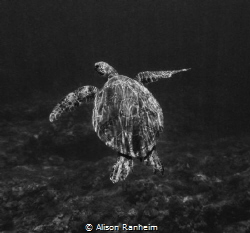 Turtle, Maui... what a poser! by Alison Ranheim