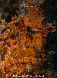 grumpy dragon... Scorpion fish in Croatia by Claudia Weber-Gebert