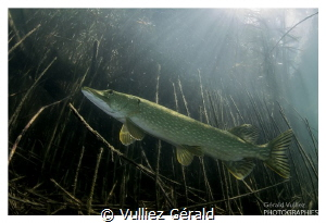 Adult pike in a little Swiss lake. Nikon d7100, tokina 10... by Vulliez Gérald
