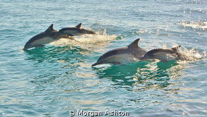 Common Dolphins off San Diego by Morgan Ashton