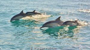 Common Dolphins off San Diego by Morgan Ashton