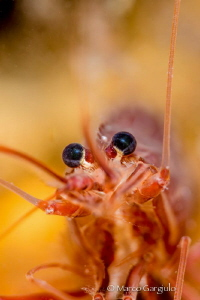 Red Mediterranean Shrimp by Marco Gargiulo