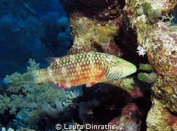 Bandcheeck wrasse on a coral wall by Laura Dinraths