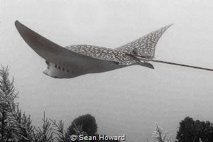 Eagle Ray Flying through the Ocean Space by Sean Howard