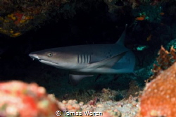 A Whitetip reefshark under some boulders. by Tomas Woren