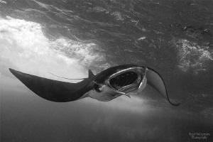 Manta Ray by Iyad Suleyman