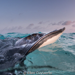 Ray catching last sun rays... by Ellen Cuylaerts