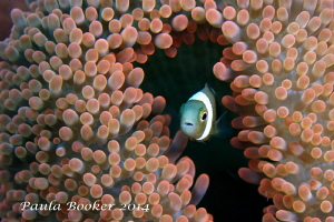 Beautiful carpet anenome... home to many anenomefish by Paula Booker