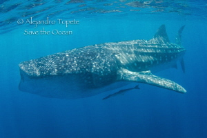 Whaleshark Time by Alejandro Topete