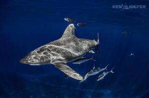 Oceanic Whitetips over mid ocean seamount by Ken Kiefer