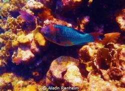 Colorful parrotfish, Roatan. by Alison Ranheim
