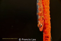 I love Goby..... by Francis Lau