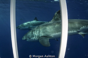 Tag Teaming White Sharks. by Morgan Ashton