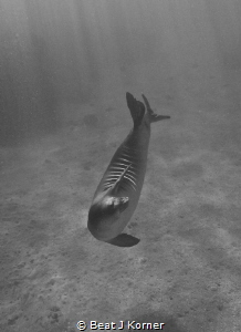 Monk Seals are solitary and always look for companionship... by Beat J Korner