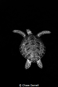 """""""Beyond"""" Green Turtle, North Wall, Grand Cayman by Chase Darnell"""