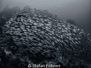One more for the road ... Oxeye Scad - Selar boops. Sail ... by Stefan Follows