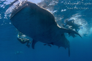 Whaleshark with snorkels, Isla Contoy Mexico by Alejandro Topete