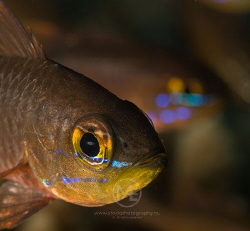 Cardinalfish by Arno Enzo