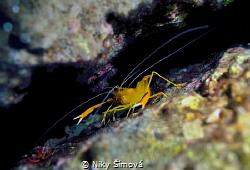 Stenopus spinosus by Niky Šímová