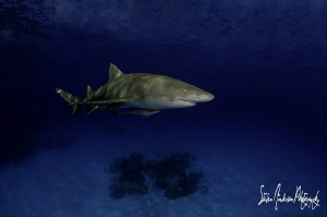 Safety Stop fun with Lemon Sharks in the Bahamas by Steven Anderson