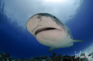 Emma the Tiger Shark makes her grand appearance at Tiger ... by Steven Anderson