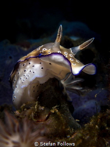 Reach ... Nudibranch - Hypselodoris tryoni. Ang Thong, Gu... by Stefan Follows
