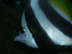 Bannerfish macro shot camera used olympus C7070 by Ernesto Yu