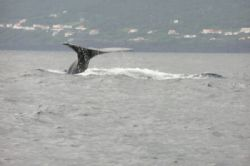 Spermwhale with Pico island as background by David Abecasis
