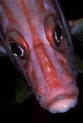 Squirrelfish portrait. Taken with a custom ringflash usin... by Len Deeley