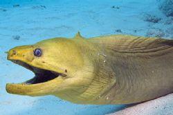 Smiling green moray, Cayman Islands. Photo taken with Fuj... by Stuart Spechler
